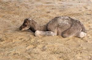 Injaz wondering if she's a real camel.  (Xinhua/Reuters Photo)
