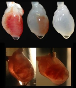 At top, a rat's heart is decellularised until it becomes a scaffold. Stem cells from mice are then applied to the heart, and it is recellularised at bottom. Photo courtesy of University of Minnesota.