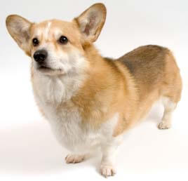 This Corgi has a variant FGF2 gene.