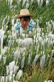 genetically modified rice