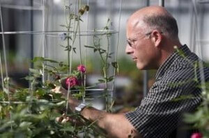 genetically modified roses