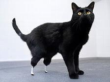 oscar-cat-artificial-legs