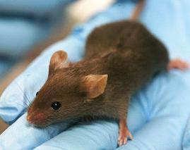 amino-acid-mice-life-BCAA
