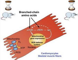 amino-acid-mice-life-diagram