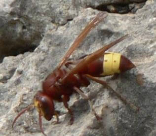 Oriental Hornet by Kreta via WikiCommons