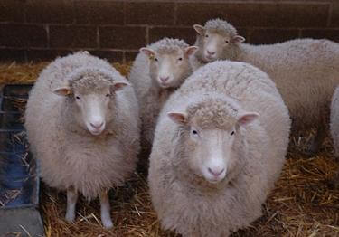 four-new-dollies-dolly-sheep