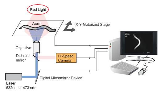 Controlling worms with lasers- diagram