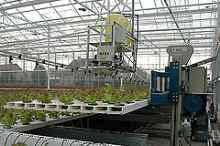 automated lettuce