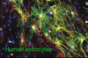 "Historically thought of as the ""housekeeping cells"" of the brain, astrocytes may play a more important role in cognition. [Source: Cell Stem Cell]"