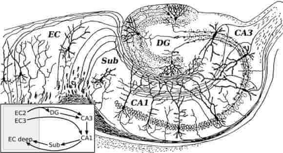The hippocampus as drawn by the father of neuroscience, Santiago Ramon y Cajal, in 1911 [Source: Wikipedia]