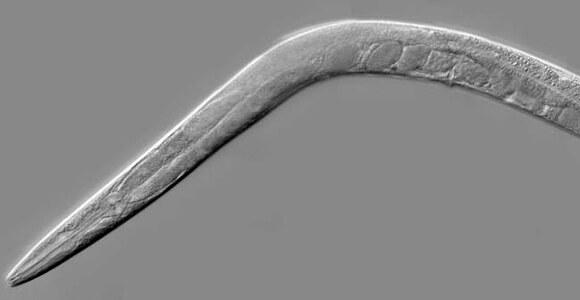Caenorhabditis_elegans