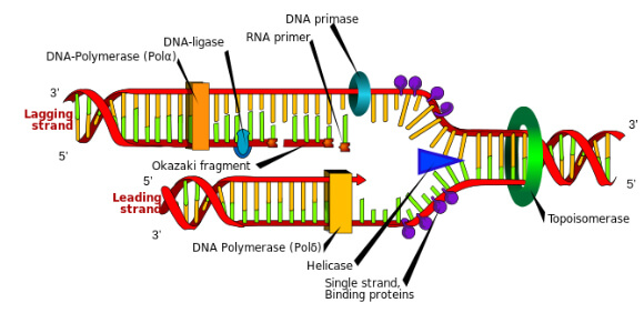 DNA replication or DNA synthesis is the process of copying a double-stranded DNA molecule. This process is paramount to all life as we know it. (Photo credit: Wikipedia)