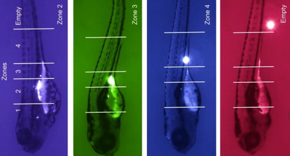 The researchers worked with Duke University scientists specializing in zebrafish modeling to confirm their findings.