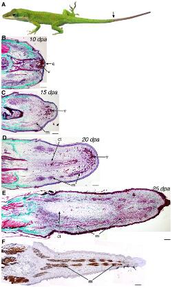 Unlocking the Mystery of Limb Regeneration: Genes for Lizard