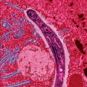 Malarial sporozoite.
