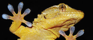 Watch Tiny Gecko Robots Haul