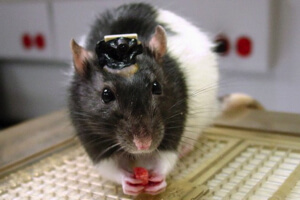 bionic-rats-see-infrared-hunt-water-12