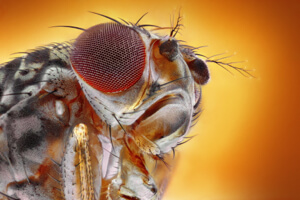 The head and eye of a fruit fly.