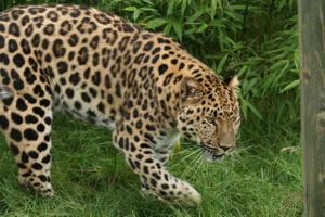 Amur leopard. (Credit: John/FlickrCC)