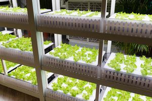Shelves of indoor hydroponic lettuce.