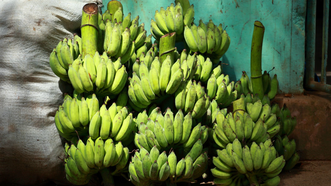green-banana-bunches