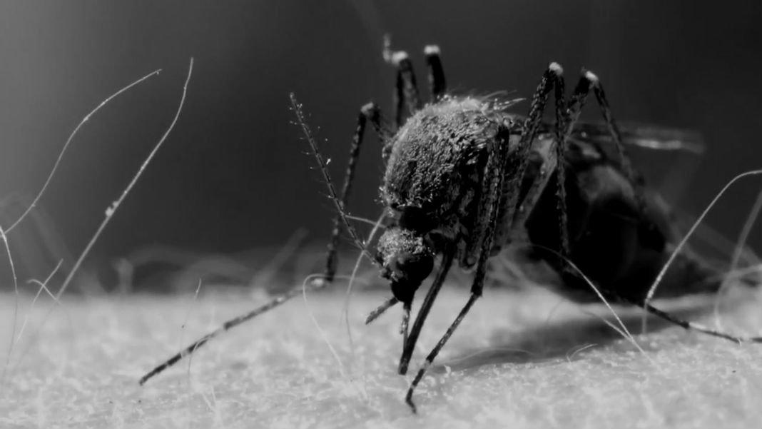 genetic-editing-mosquitoes
