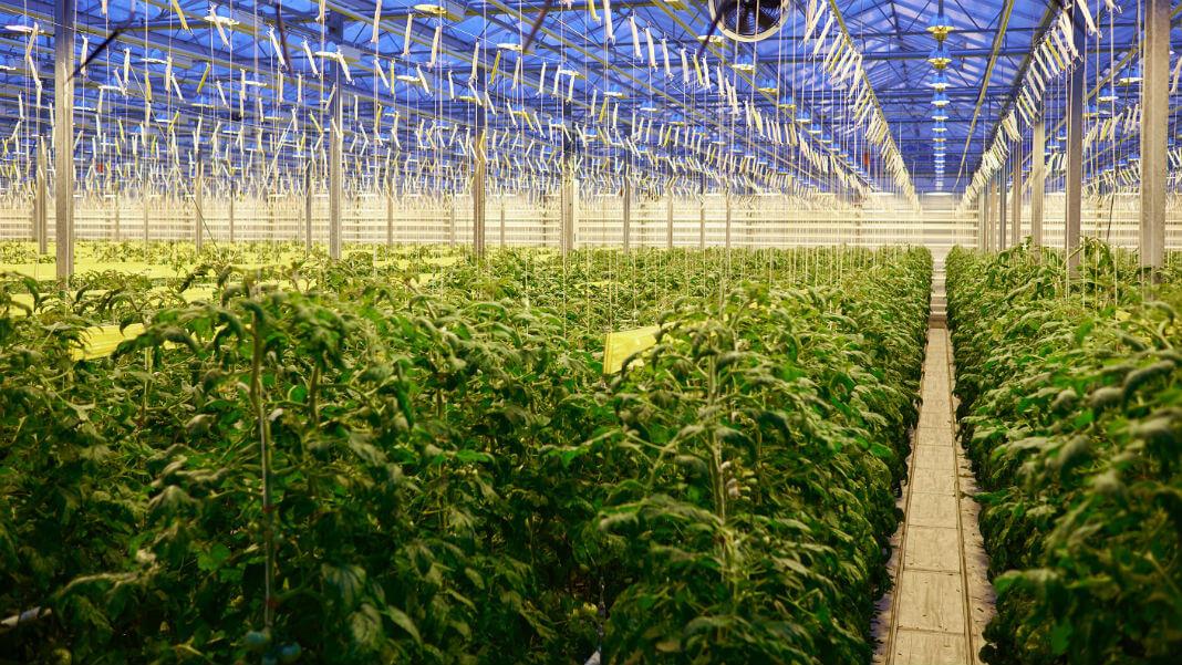 future-of-food-tomato-plantation-greenhouse