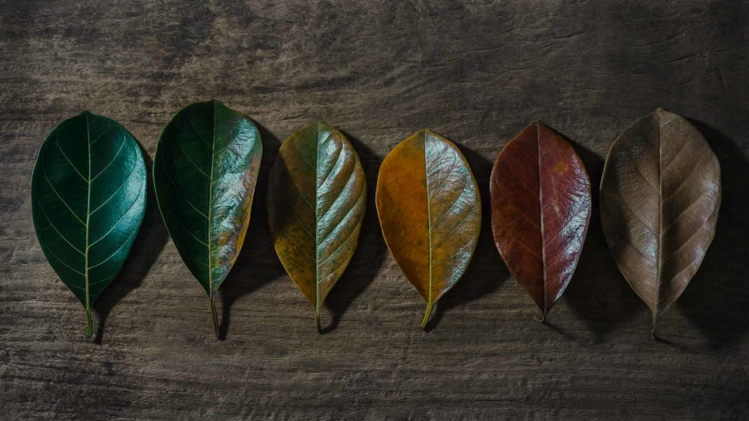 autumn leaves senescence