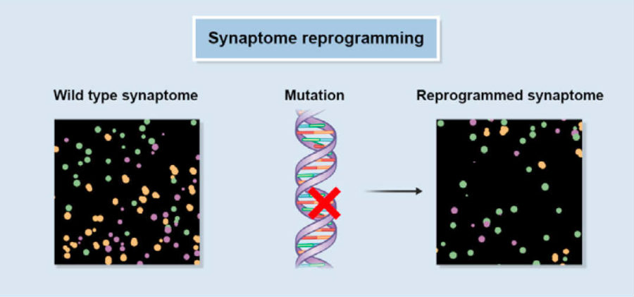Synaptome reprogramming