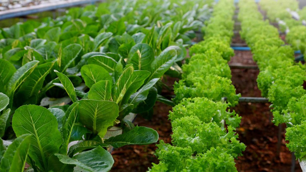 salad crop hydroponics system farm agriculture