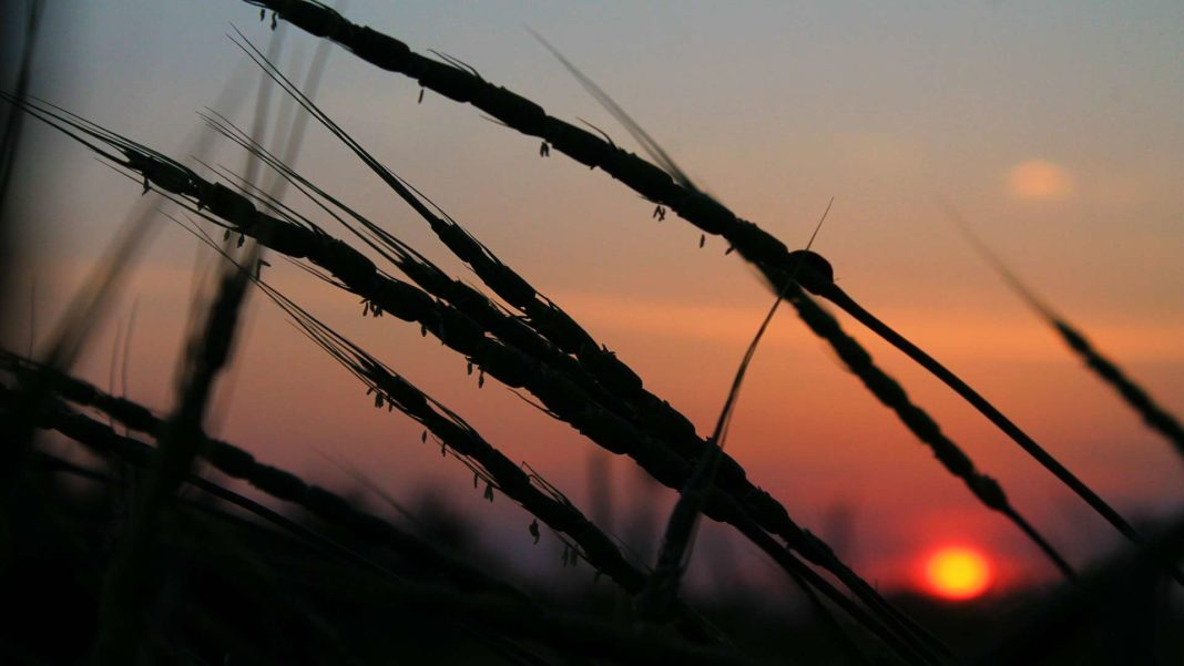 wheat silhouette at sunset