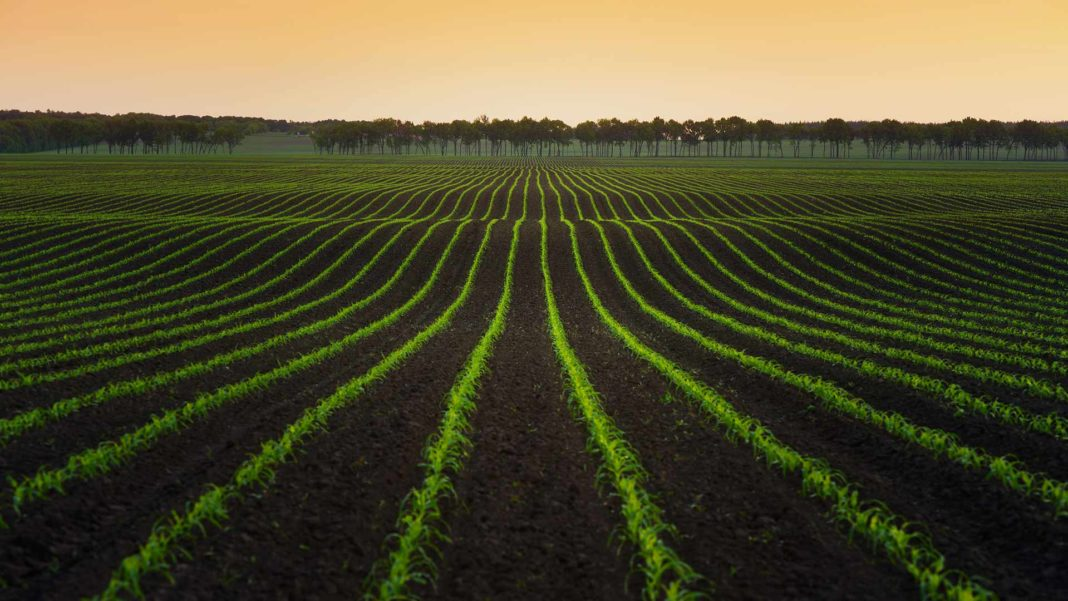 rows of crops in field food farm