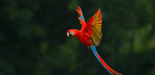 red parrot rain macaw flying