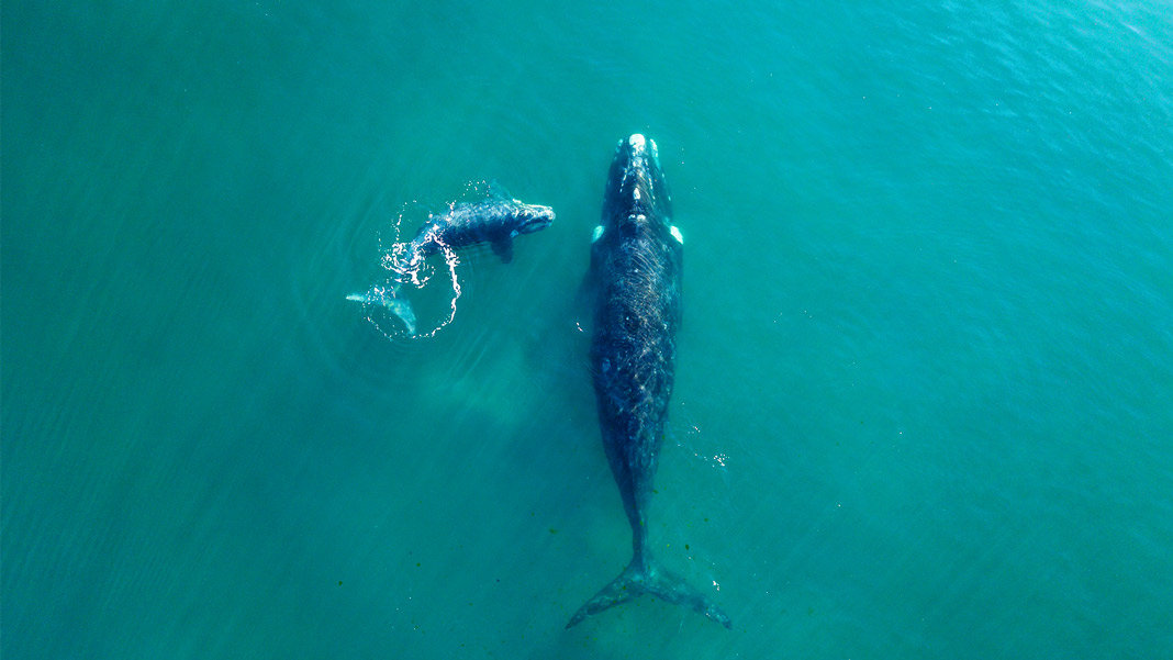 Whales swimming in Atlantic Ocean aerial view