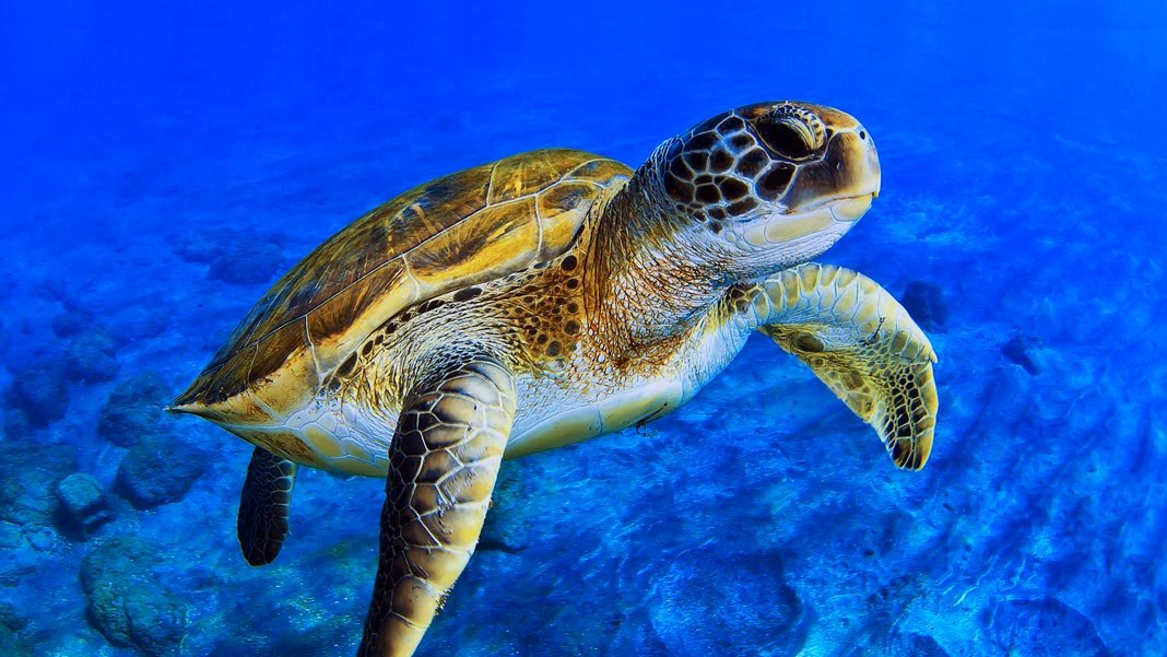 swimming sea turtle