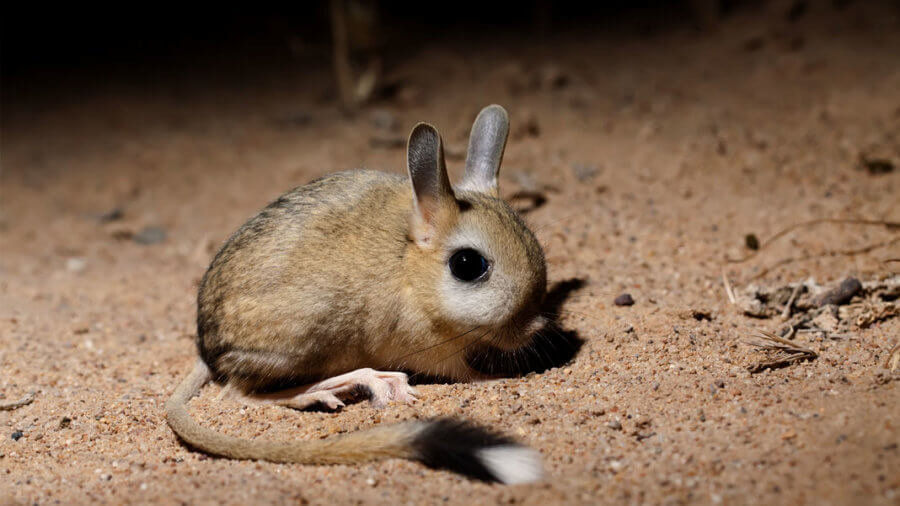 small five-toed jerboa