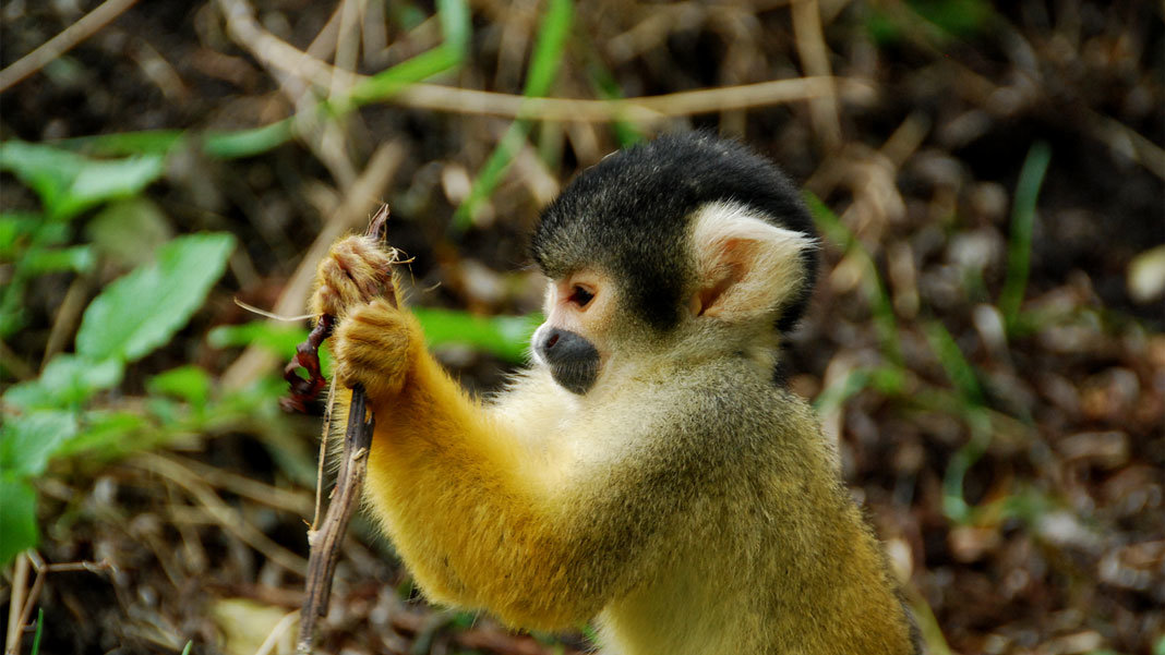 squirrel monkey studying in forest artificial intelligence