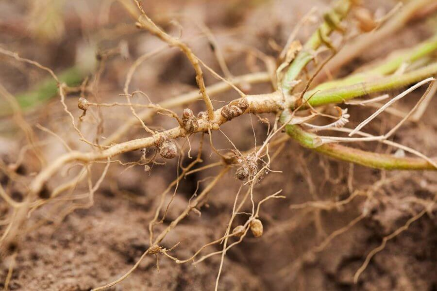 nitrogen fixing nodules in legume roots food and agriculture