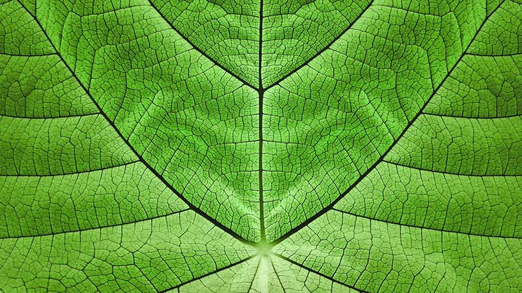 leaf closeup artificial photosynthesis biomimicry future of energy