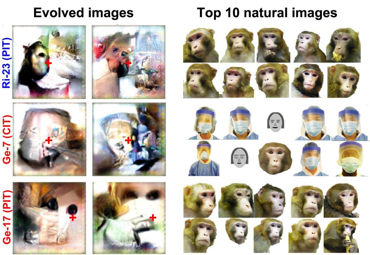 natural images and neuron evolved images neuroscience