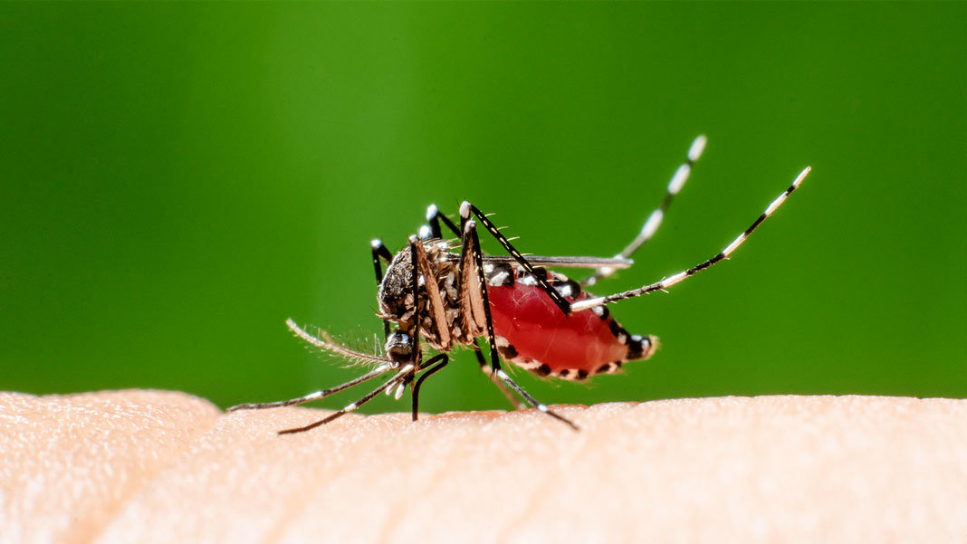 tiger mosquito CRISPR biotechnology