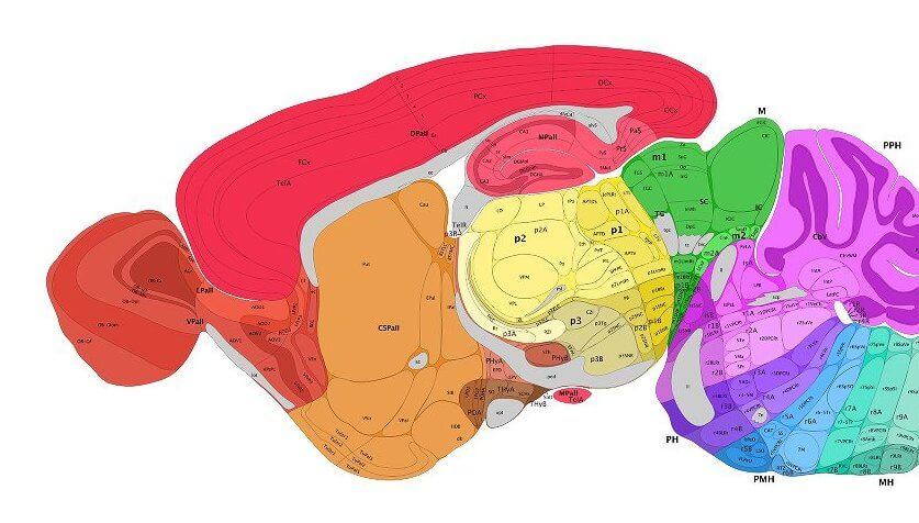 allen mouse rain image neuroscience
