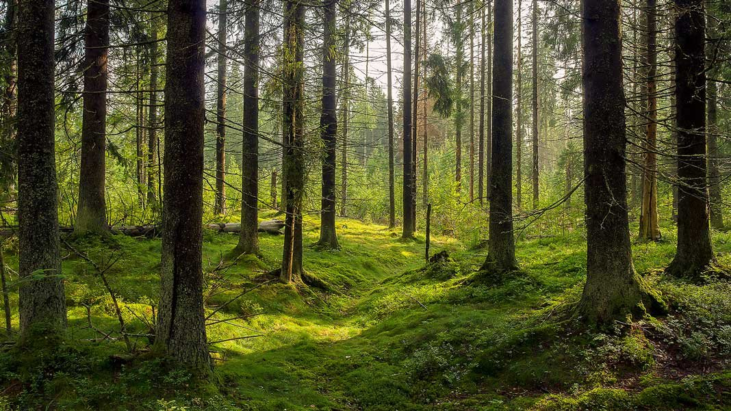 environment karelia trees dark forest background