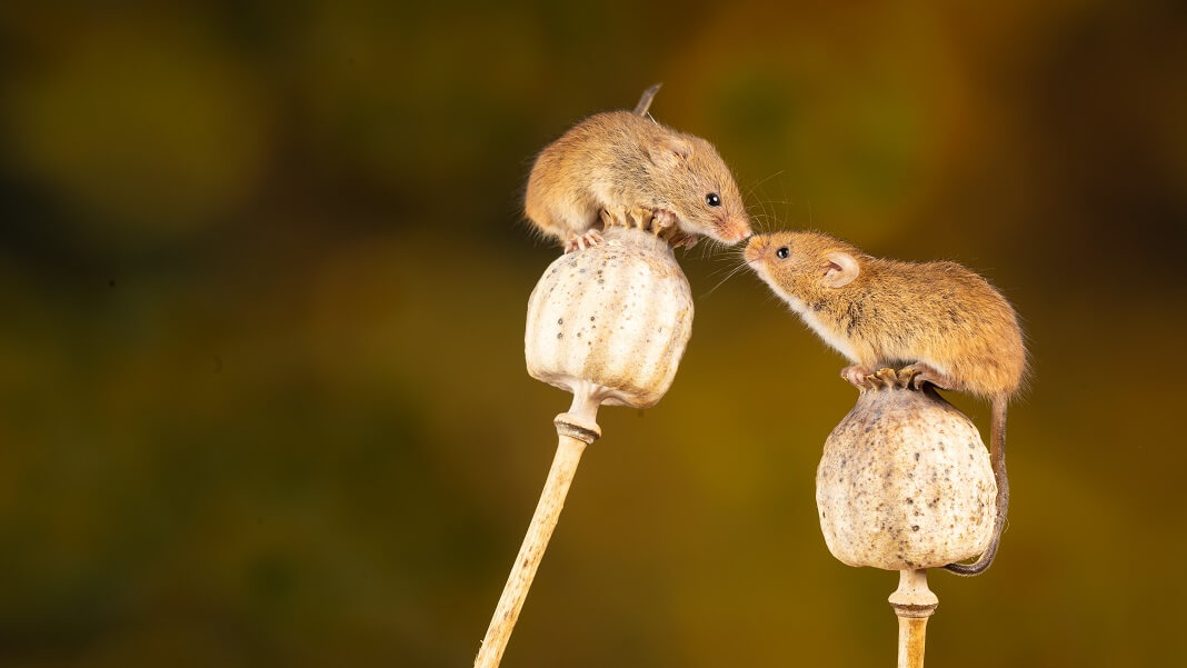mice smell nose scent incept two brown mice