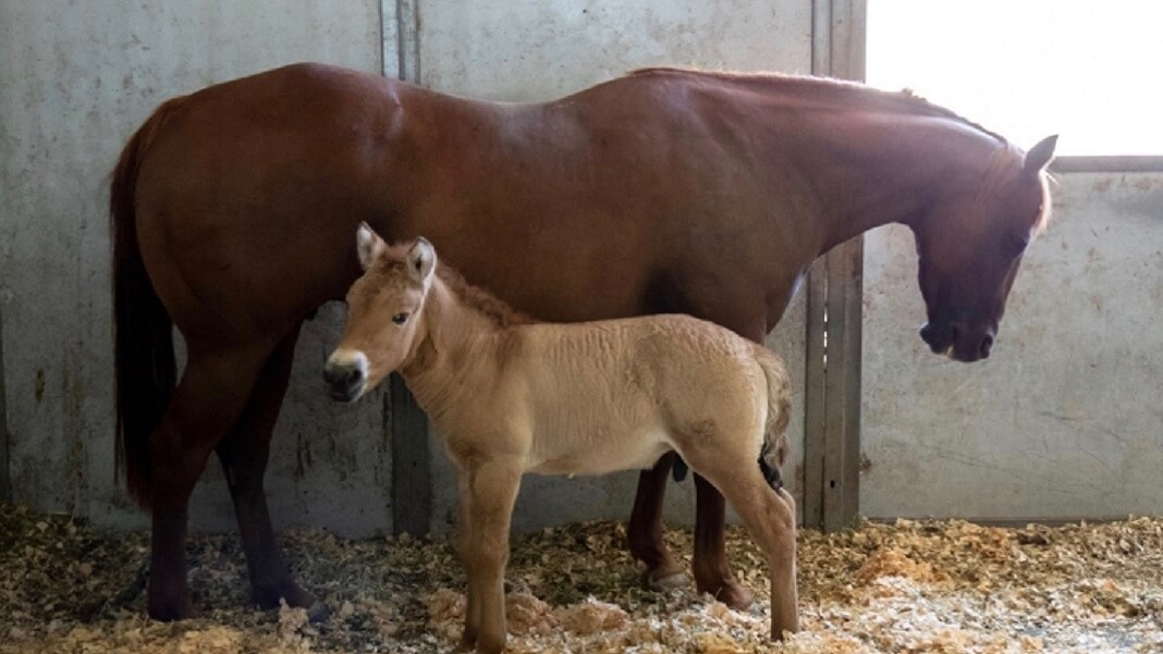 baby and mom horse in stable clone genetics