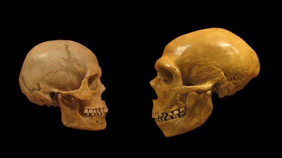 mini brain genes what makes us human neanderthal home sapiens comparison