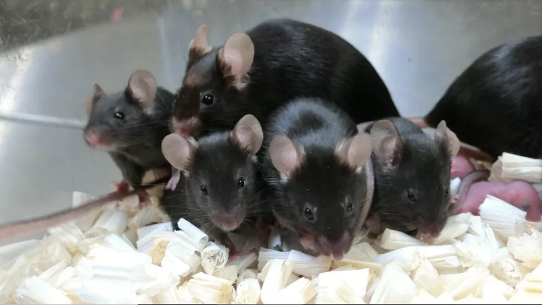 mice from ISS sperm space reproduction