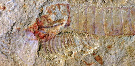 ancient fossilized brain preserved as fossil