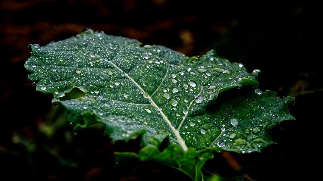 plant leaf vaccine molecular farming